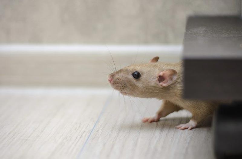 dératisation rat et souris