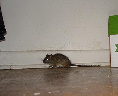 Rat de maison