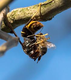 frelon asiatique attaquant une abeille