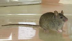 dératisation des souris domestiques