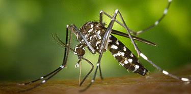 moustique tigre qui suce du sang