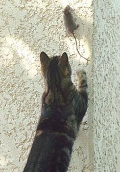chat qui chasse une souris