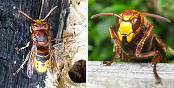 Le frelon européen fait partie des insectes nuisibles