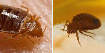 La punaise de lit fait partie des insectes nuisibles