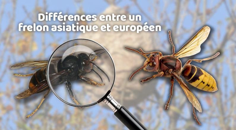 Quelles sont les différences entre un frelon asiatique et un frelon européen ?