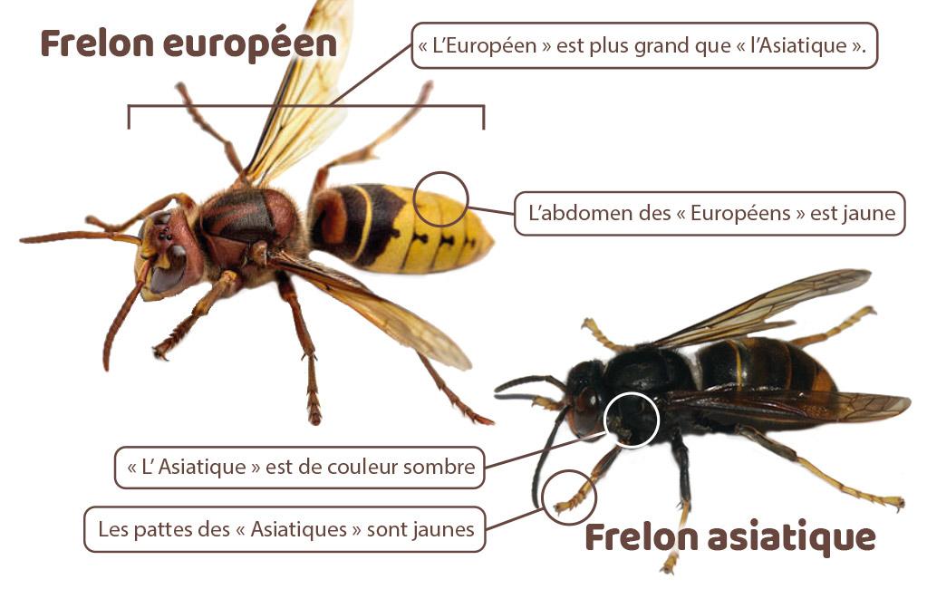 Les différences entre un frelon asiatique et européen