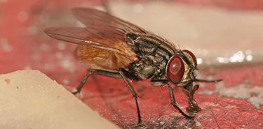 Comment reconnaître les mouches domestiques