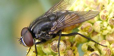Comment se débarrasser des mouches d'automne