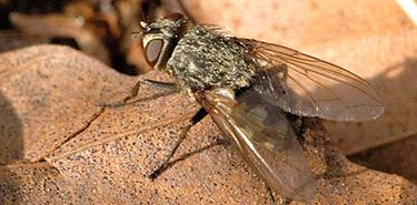 Comment se débarrasser des mouches de grenier
