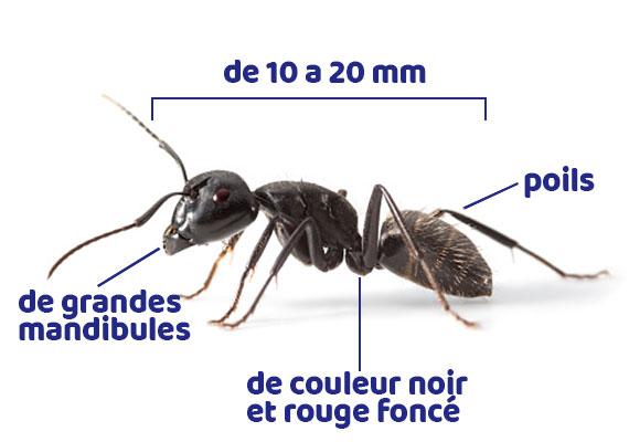 Comment reconnaître les fourmis charpentières