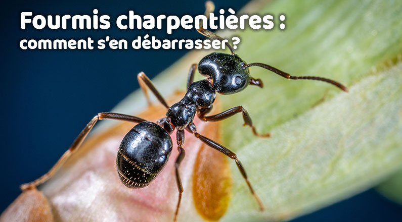 Fourmis charpentières : comment s'en débarrasser ?