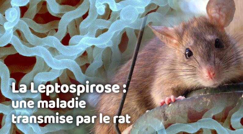La Leptospirose une maladie transmise par le rat